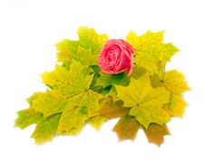 Free Beautiful Scarlet Rose On White Background Royalty Free Stock Photos - 6593998