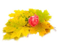 Free Scarlet Rose And Yellow Autumn Royalty Free Stock Photos - 6594058