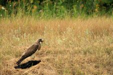 Free Hawk And Prey 1 Royalty Free Stock Photography - 6594357