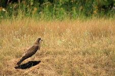 Free Hawk And Prey 2 Stock Photo - 6594360