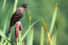 Free Redwinged Blackbird Singing Stock Image - 6594561