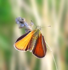 Free Orange Butterfly On The Blade. Royalty Free Stock Photography - 6594577