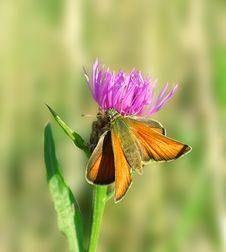 Free Butterfly On The Pink Flower. Royalty Free Stock Image - 6594586