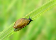 Snail On The Grass. Royalty Free Stock Photo