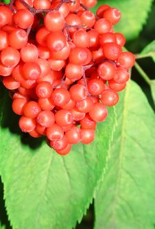 Red Berry. Royalty Free Stock Images