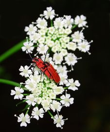 Free Beetle On The White Flower. Royalty Free Stock Photos - 6594698