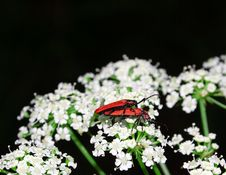 Free Beetle On The White Flower. Royalty Free Stock Photo - 6594705