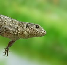 Free Grey Lizard. Stock Photo - 6594770
