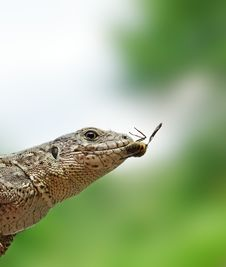 Free Lizard To Fly. Royalty Free Stock Image - 6594776