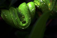 Free Green Tree Python Royalty Free Stock Photo - 6595685