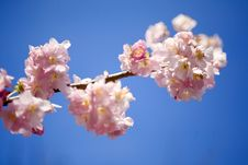 Free Branch With Pink Blossoms Stock Photo - 6595730