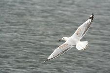 Free Seagull Royalty Free Stock Photos - 6595898