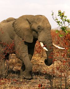 African Elephant On A Sunny Day Stock Image