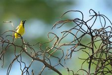 Free Sunbird On Branches Royalty Free Stock Photos - 6597588
