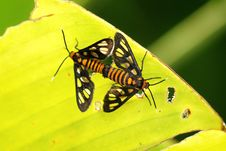 Free Mating Insects On A Leaf Royalty Free Stock Photography - 6597767