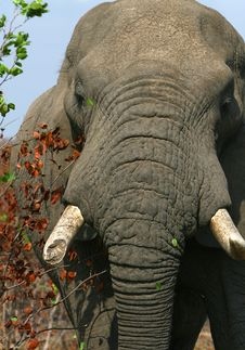Free Head Of An African Elephant Royalty Free Stock Photos - 6597798
