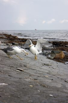 Free Sea Gulls Stock Image - 6597801