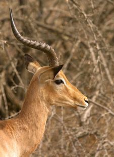 Free Head Of Impala Royalty Free Stock Photo - 6597965