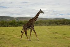 Free Giraffe Royalty Free Stock Photo - 6598715