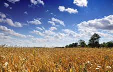 Free Corn Field Royalty Free Stock Photography - 6598917