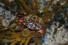 Tropical Crab In Aquarium Stock Photo