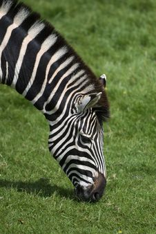 Free Zebra Stock Photography - 6599372
