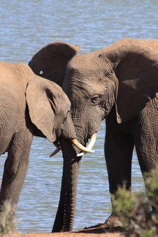 Free Herd Of Elephants Drinking Royalty Free Stock Image - 6599906