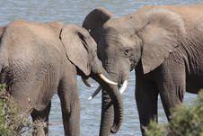 Free Herd Of Elephants Drinking Royalty Free Stock Photos - 6599908