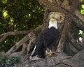 Free Eagle Royalty Free Stock Photo - 664555