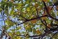 Free Lemon Tree Royalty Free Stock Photos - 666738
