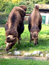 Free Camels Stock Image - 667441