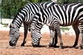 Free Two Zebras Eating Royalty Free Stock Photos - 668288