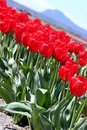 Free Red Tulips Diagonal Royalty Free Stock Photo - 669495