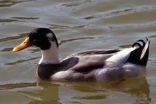 Free Duck In His Natural Surrounding Royalty Free Stock Photos - 660108
