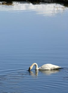Free Trumpeter Swan Stock Image - 660141