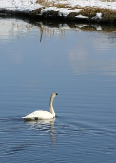 Free Trumpeter Swan Royalty Free Stock Photo - 660145