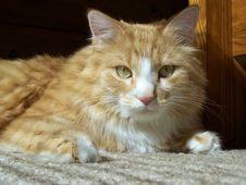 Free Lounging Feline Stock Photo - 660450