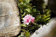 Free Azalea Flower Stock Photo - 660580