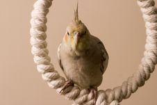 Free Canelle The Cockatiel Royalty Free Stock Photos - 660588