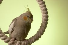 Free Canelle The Cockatiel Stock Image - 660591