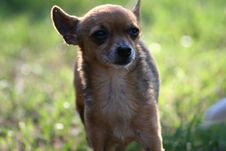 Free Miniature Dog Stock Images - 660964