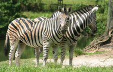 Zebras Stock Photography