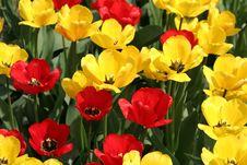 Free Tulips Royalty Free Stock Image - 663426