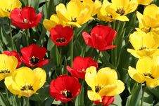 Free Tulips Royalty Free Stock Photography - 663427