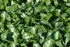 Free Aquatic Plants Royalty Free Stock Photos - 663718
