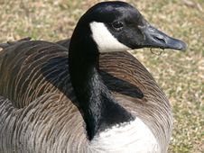 Free Goose Lunch Stock Photos - 664213