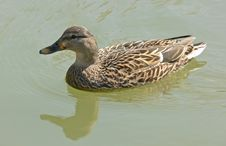 Free Female Duck Royalty Free Stock Photography - 664217