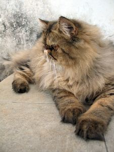 Free Persian Cat Portrait Royalty Free Stock Photo - 664425