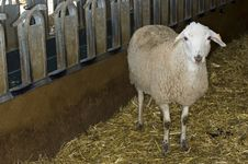 Free Be A Sheep Stock Image - 664801