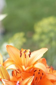 Free Lily Stock Image - 664961